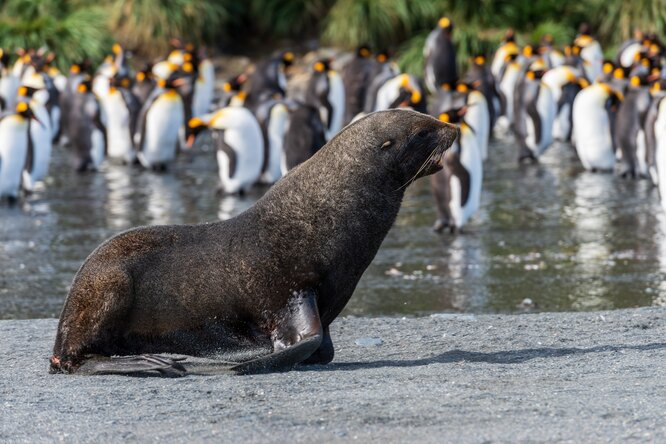 морские котики, пингвины