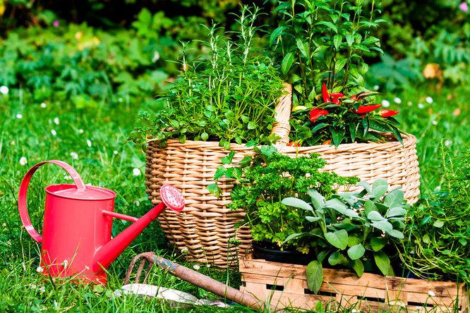 Чай надаче: пряные травы, которые будут расти всаду много лет