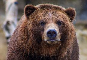Медведь зашел в магазин за пачкой чипсов. Было страшно
