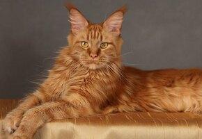 Мейн-кун: что нужно знать, если вы берете домой котенка этой  породы