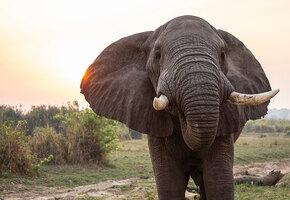 Раненый слон пришел просить людей о помощи. Ему провели уникальную операцию