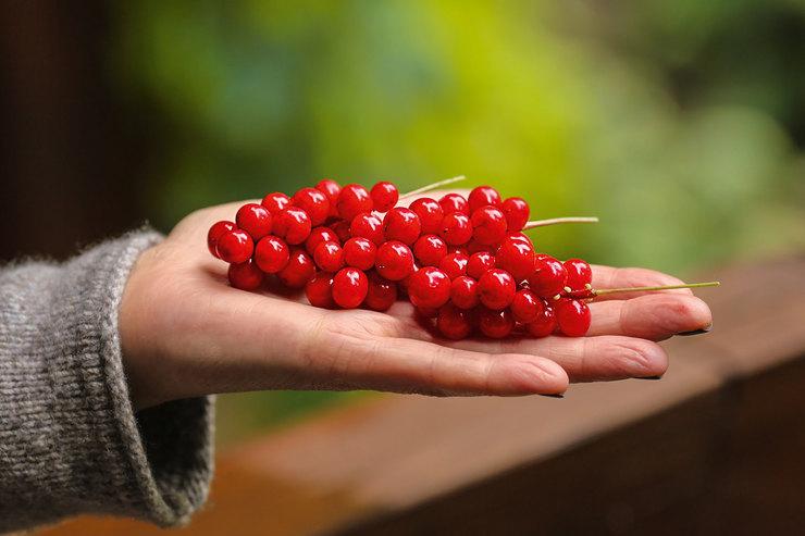 Яркая ягода. Лимонник китайский хорошо переносит полутень, а его ягоды обладают лечебными свойствами.