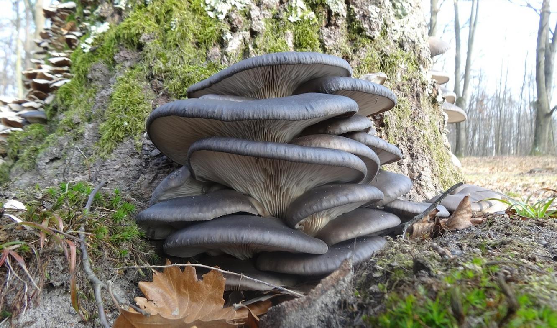 Вешенки грибы