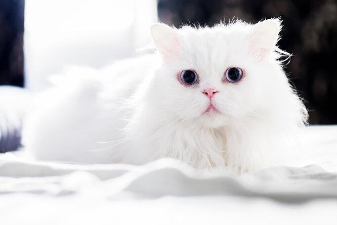 Китайская кошка просто лежит вмашине. Изарабатывает больше хозяев