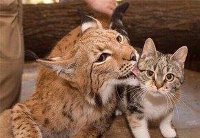 Любовь навсегда: в Ленинградском зоопарке умерла кошка Дуся, которая 12 лет жила с рысью Линдой