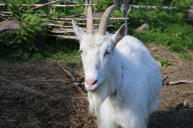«Он уних предводитель»: кабан пасет домашних коз