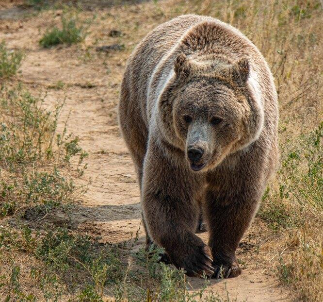медведица на прогулке