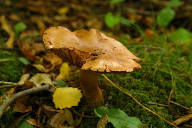 Ядовитые грибы: как выглядит то, что нельзя класть вкорзинку