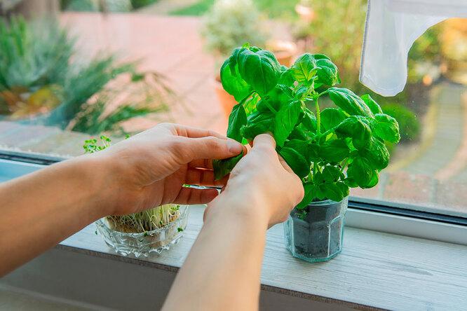 Лук, руккола иещё 5 видов зелени, которую легко вырастить наподоконнике