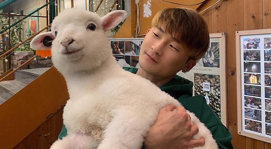 Они все-таки белые! Корейское «овцекафе» опубликовало удивительные кадры купания животных