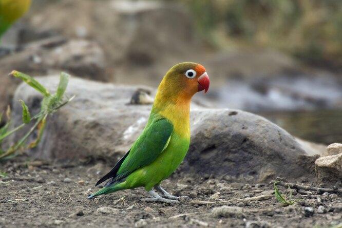 """""""Свободу попугаям!"""" полиция Утрехта арестовала неразлучника и посадила его в камеру"""