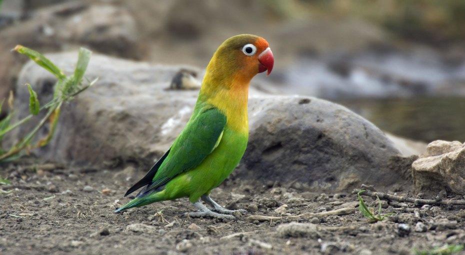 «Свободу попугаям!» полиция Утрехта арестовала неразлучника ипосадила его вкамеру