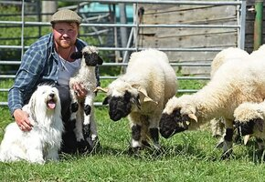 Собака пыталась стать пастухом у овец, но провалилась — по забавной причине