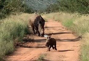 Кто тут у нас страшный? Маленький носорожек бросился защищать маму от людей