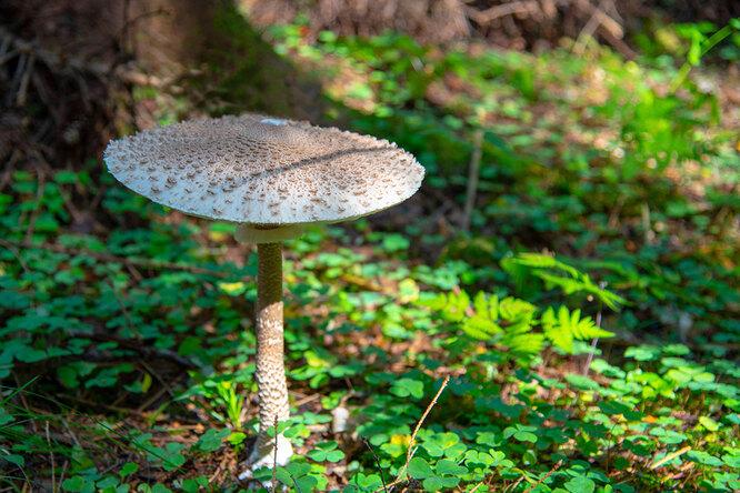 Зонтичный гриб