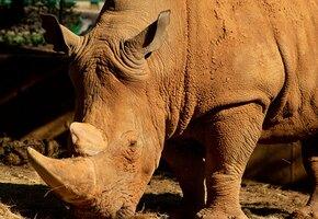Слишком любит ласку: этот носорог весит больше тонны и плачет без внимания людей