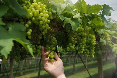 Как правильно обрезать виноград летом, чтобы получить урожай осенью?
