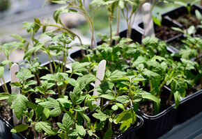 Согревать или замораживать: как подготовить семена к посадке, чтобы проросли
