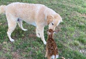 Отважный пес вытащил тонущего олененка из озера и отдал маме. Но тот вернулся