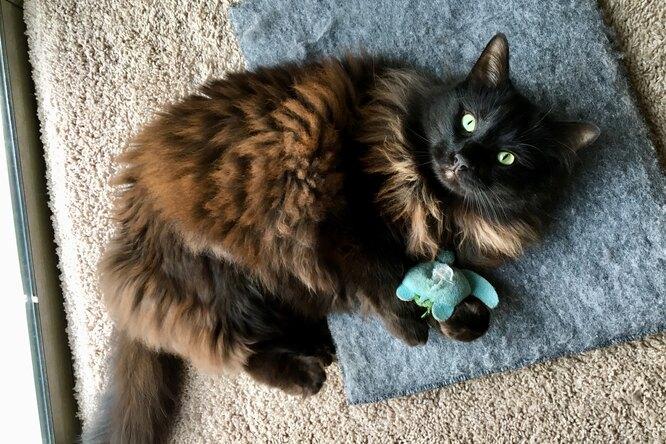 5 причин, покоторым ваша кошка носит взубах игрушку