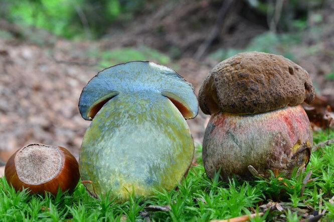 синий гриб, гриб посинел