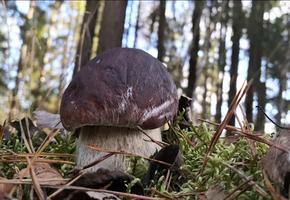 Охота за белыми грибами открывается уже в мае