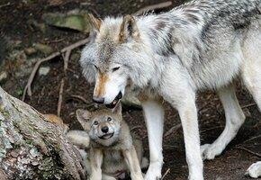 Мальчик, выращенный волками – настоящая история Маугли