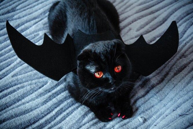 Почему приюты неотдают чёрных кошек накануне Хэллоуина: зловещие причины