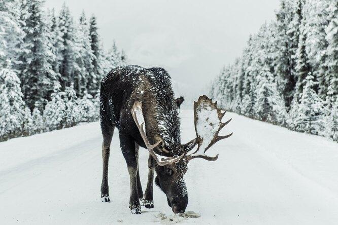 Канадские лоси полюбили облизывать машины. Это вредно дляздоровья
