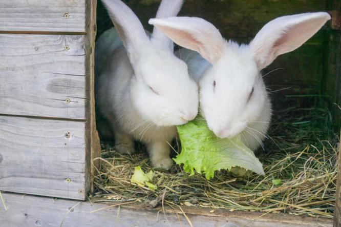 кролики капуста