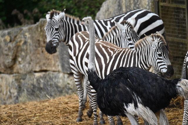 страус думает то он зебра