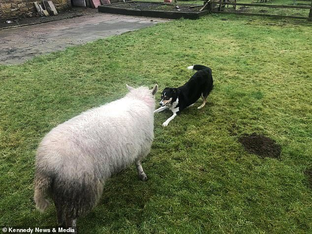 овца играет в догонялки с собакой