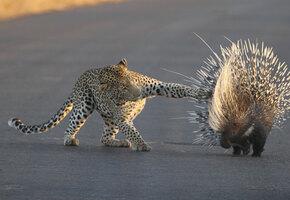 Истекал кровью, но не сдавался: леопард полтора часа охотился на дикобраза