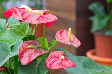Цветок антуриум: уход заэкзотическим растением вдомашних условиях