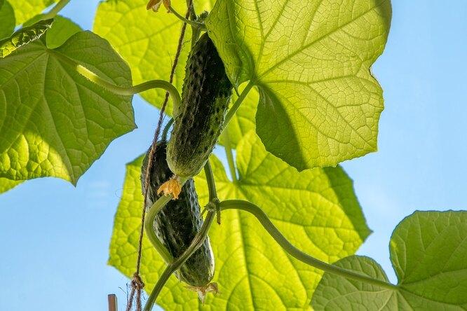 Огурцы созревают. Фото pixabay.com