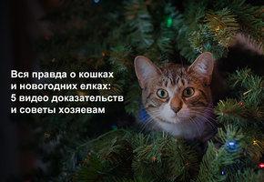 Вся правда о кошках и новогодних елках: 5 видео доказательств и советы хозяевам