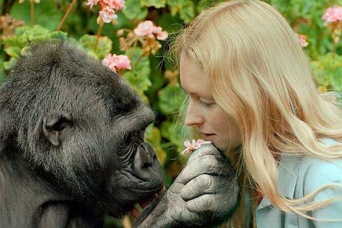 Коко: горилла, изменившая представление очеловеческой уникальности ио гориллах