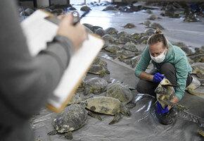 «Мы не были готовы»: как спасали черепах от аномальных морозов в Техасе