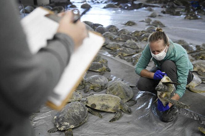 «Мы небыли готовы»: как спасали черепах отаномальных морозов вТехасе