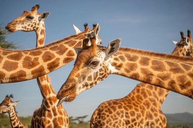Помирились ради добра: две деревни сообща спасли тонущих краснокнижных жирафов