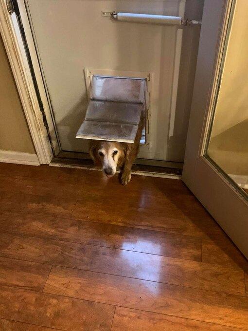 золотистый лабрадор ретривер, собачья дверка