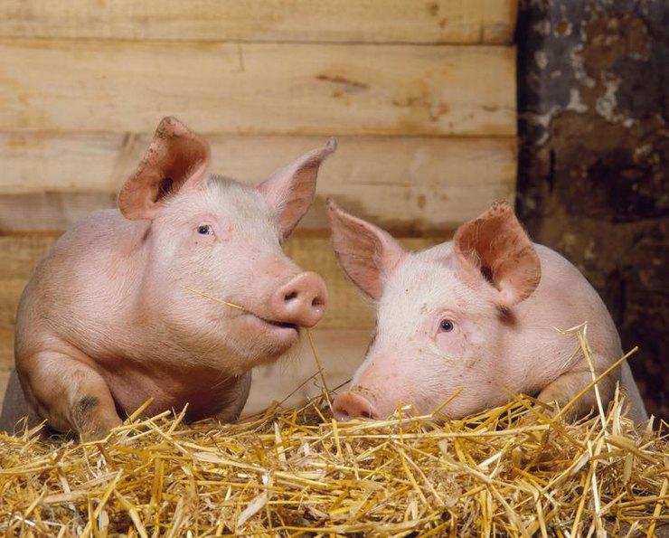 поросята, свинки, свинья