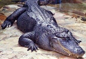 Дымился, но жевал: суровый аллигатор поймал коптер во время съёмки