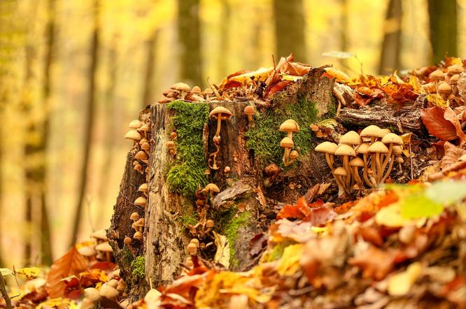 Грибы опята в осеннем лесу