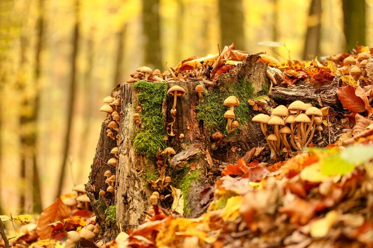 Грибы опята восеннем лесу