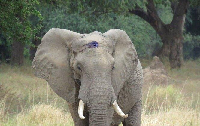 раненый слон