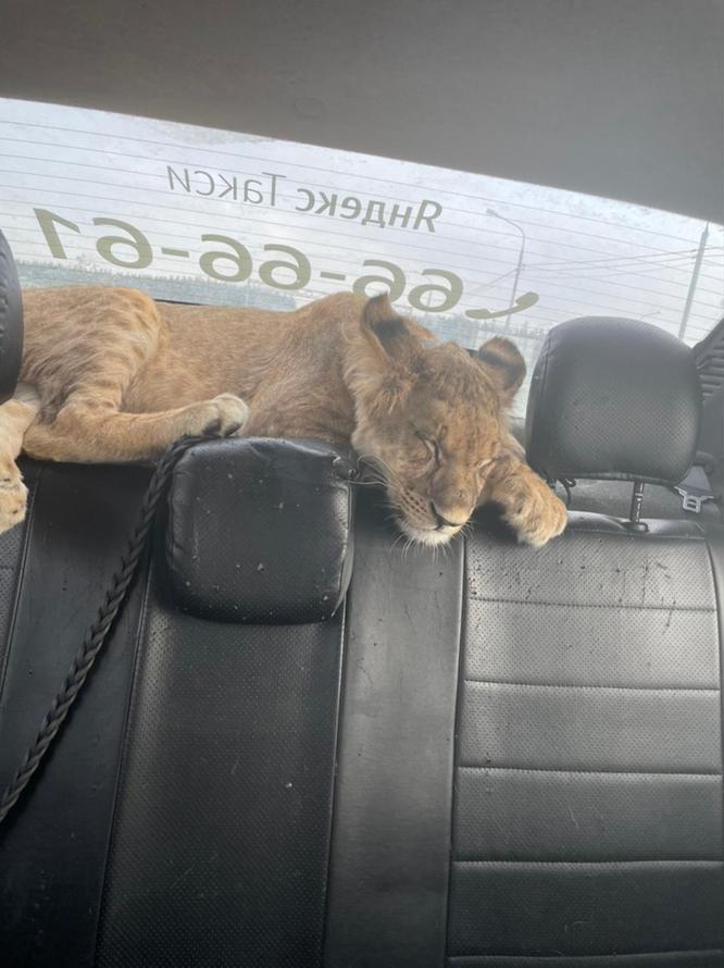 львенок спасен
