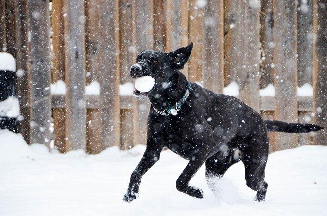 собака, снежок