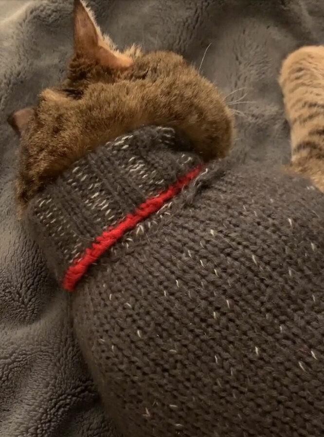 кот в свитере, серый кот