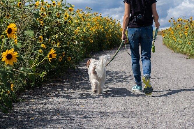 Человек гуляет с собакой мимо подсолнухов